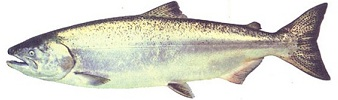 Pacific Chinook (King) Salmon