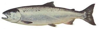 Pacific Coho (Silver) Salmon